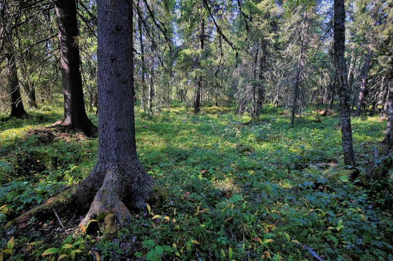 Kasvupaikka metsässä